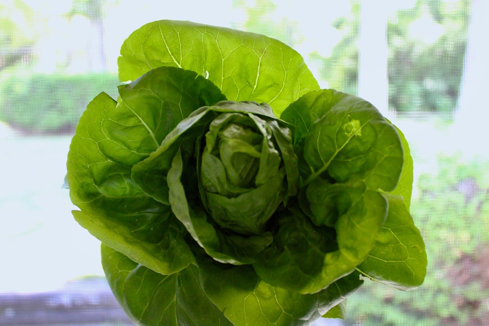 Lettuce from the garden.