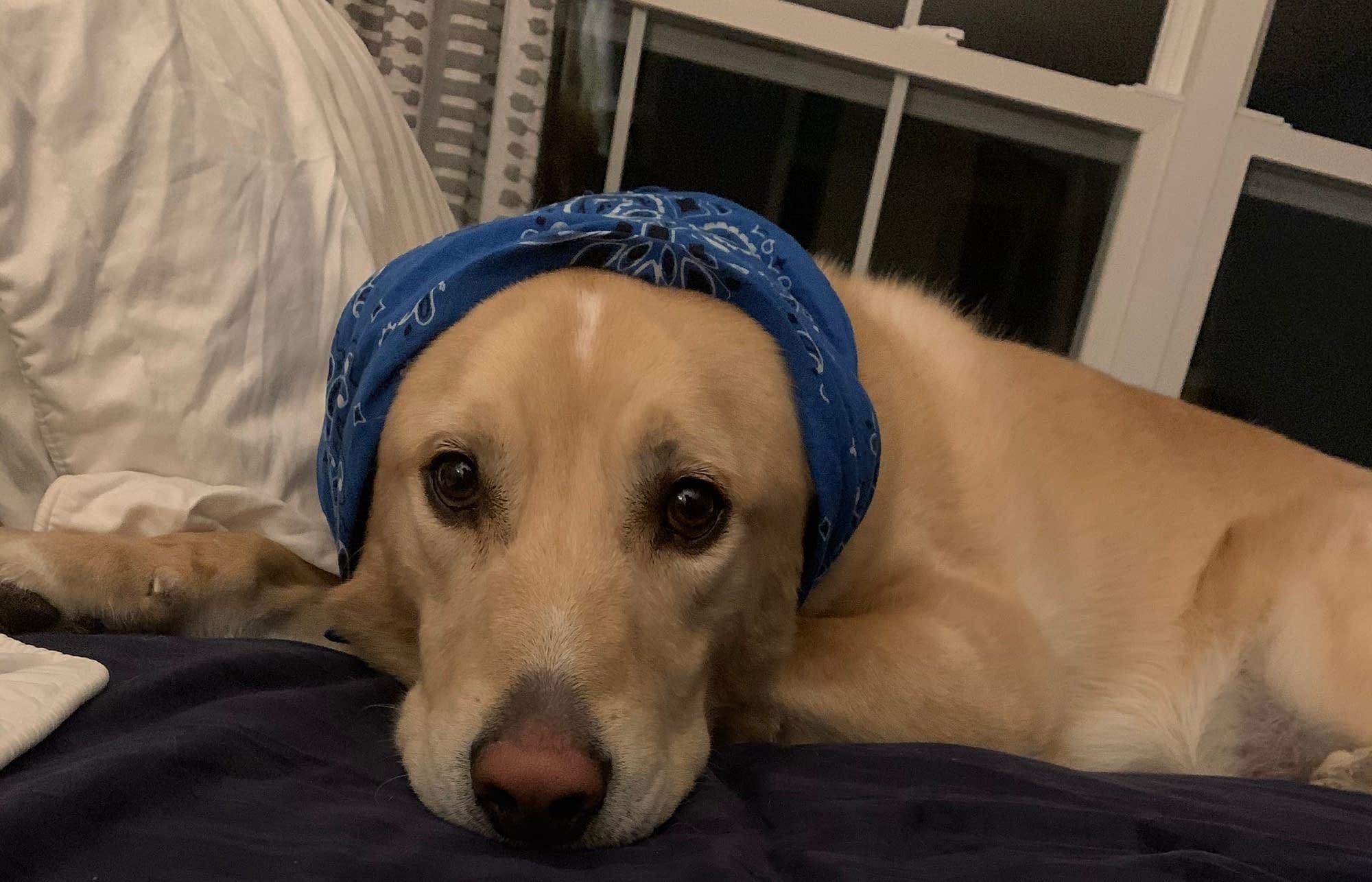 Dog wearing a bandana on it's head.