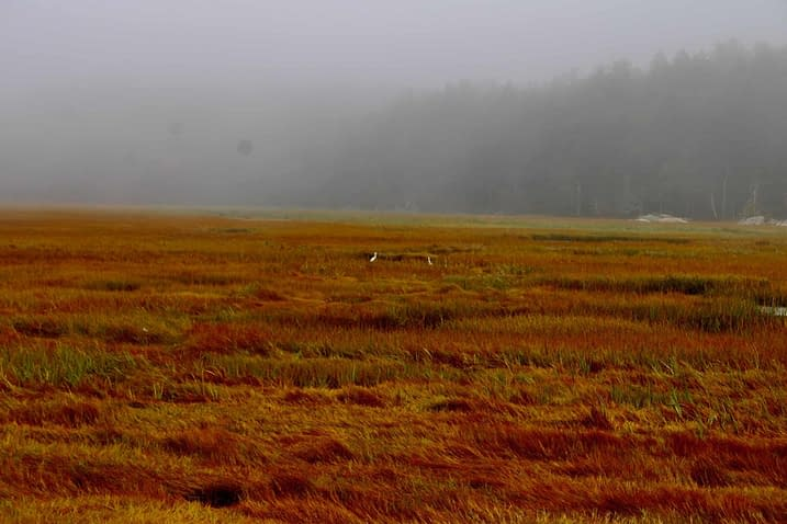 Red salt marsh grasses with snowy egrets.