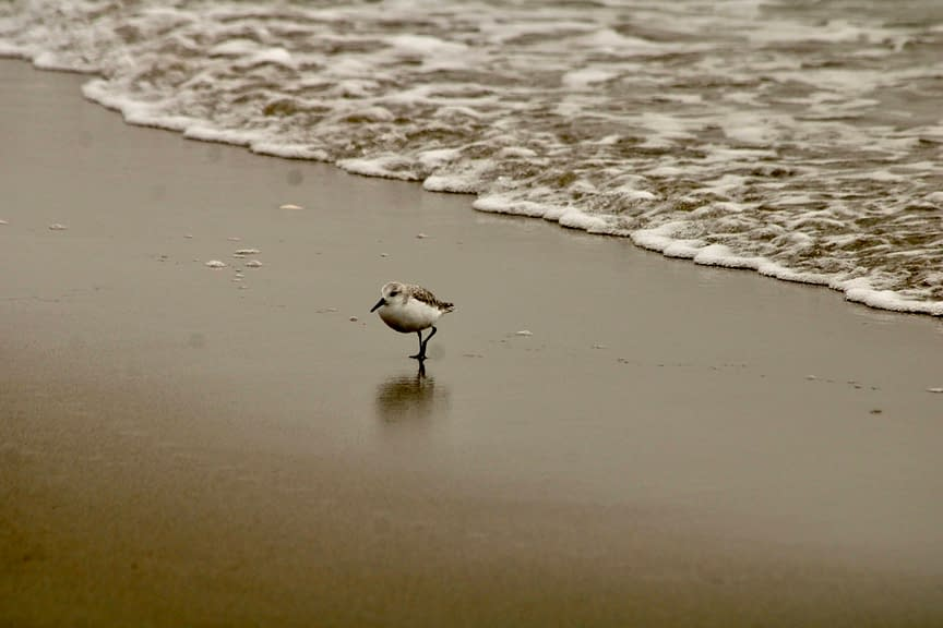 A sandpiper on surf