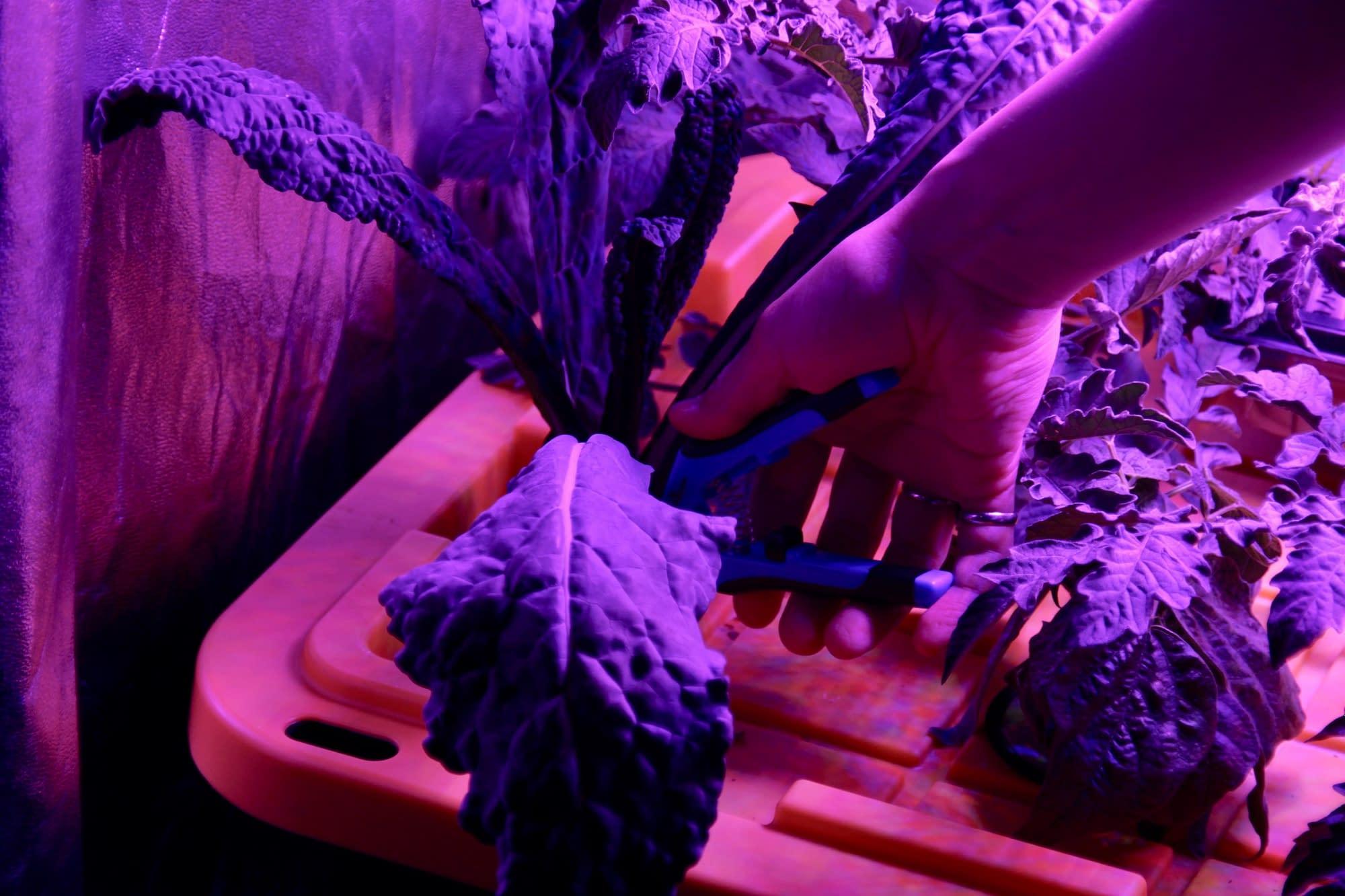 Kale growing in the aeroponic garden.